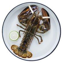 【预售 每周4发货】鲜活加拿大龙虾(约450g-550g) 不活包赔进口活波龙截止每周三18点前的订单 周四发货