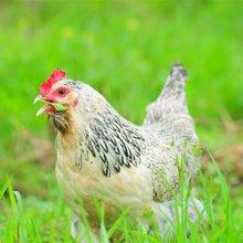 良食网 海拨1350米的瑶山山鸡 纯山林放养超180天 吃草吃虫吃菜 送内脏  净重约2斤 限深圳 包邮