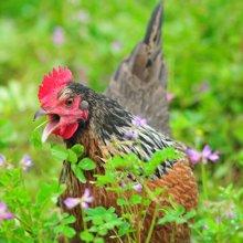 良食网 海拨1350米的瑶山公鸡 纯山林放养超180天 吃草吃虫吃菜 净重约2.5斤 包邮 限深圳
