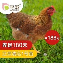 孕滋 180天清远麻鸡新鲜现杀鸡 放养土鸡清远山林走地土鸡