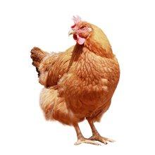 良食网 有机醉香鸡