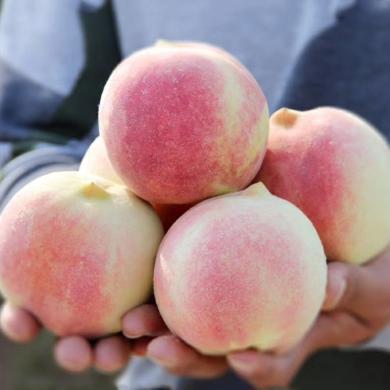 華樸上品 山東金秋紅蜜桃子 4.5-5斤裝 9-12粒 新鮮水果桃子