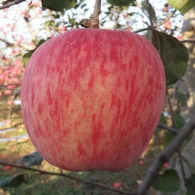 顺丰包邮 山西万荣红富士苹果 大果约8.5斤 水果 新鲜苹果15枚净重约8.5斤