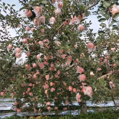 【顺丰包邮?#21487;?#35199;万荣红富士 新鲜苹果15枚约9斤 大果