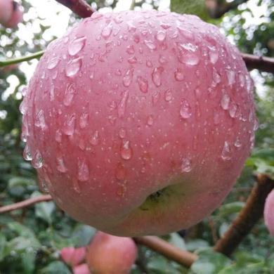 四川盐源?#20999;?#33529;果 约8斤大果果径80-90cm24个左右 丑苹果新鲜水果