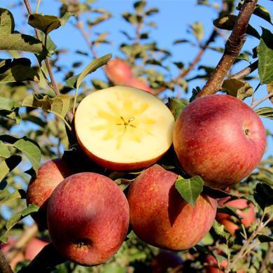 【现摘?#22336;ⅰ?#23567;岔巴 云南冰?#20999;?#19985;苹果 5斤/10斤 新鲜水果当季带箱 非昭通丑苹果