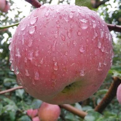 四川盐源?#20999;?#33529;果 约5斤丑苹果新鲜水果 中果15个左右