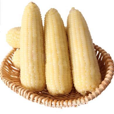 東北玉米甜白糯粘玉米棒真空速凍玉米2支黏玉米火鍋配菜