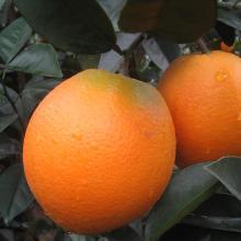 华朴上品 赣南脐橙 20斤装 精品果 新鲜水果橙子