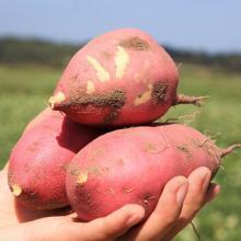 【桥头长寿地瓜 】富硒 圆型 地瓜 约5斤装【单果2-4两】红皮 红薯 番薯 长寿瓜