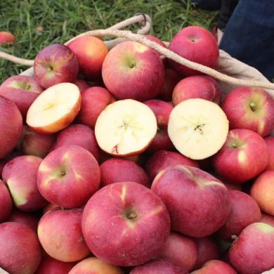 華樸上品 四川大涼山鹽源丑蘋果5斤精品大果 單果80-90mm應季水果蘋果