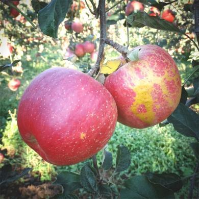 食王記  四川大涼山丑蘋果 8斤大果 (14-18枚)鹽源野生蘋果不打蠟 脆甜新鮮水果
